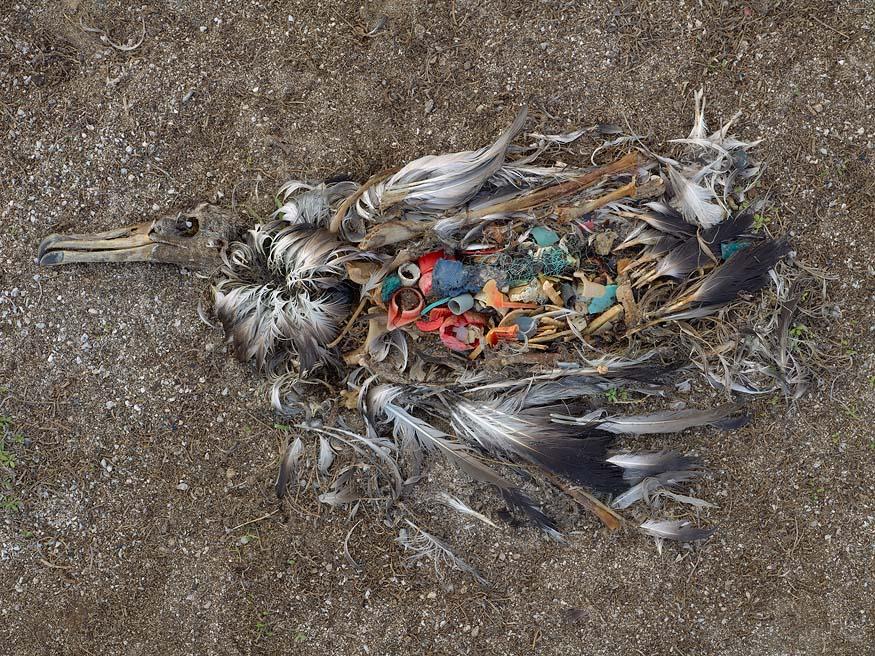 albatros-morts-02