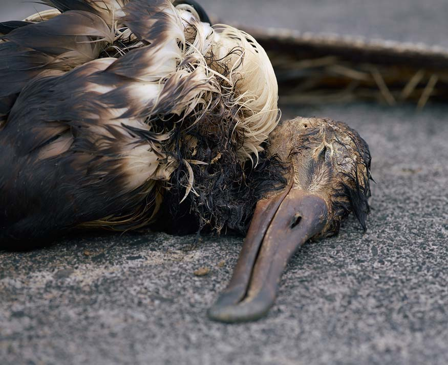 albatros-morts-07
