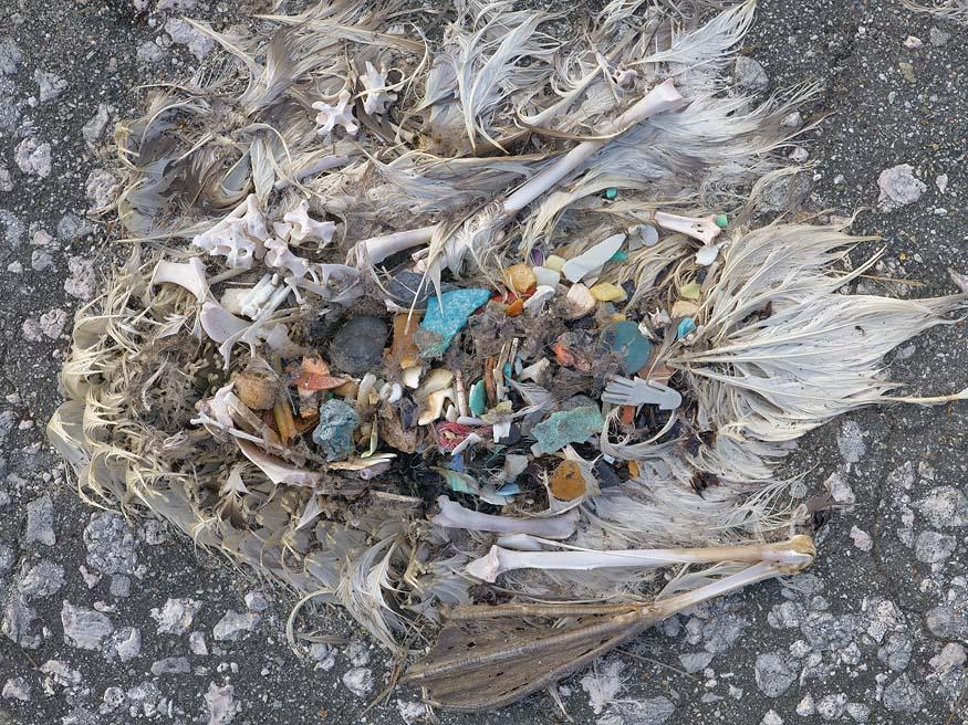 albatros-morts-09