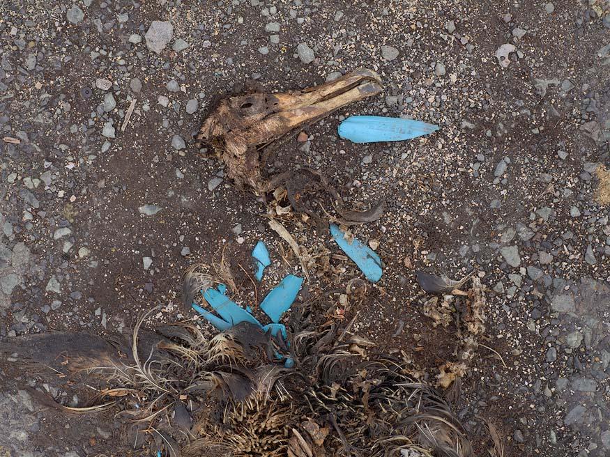 albatros-morts-14