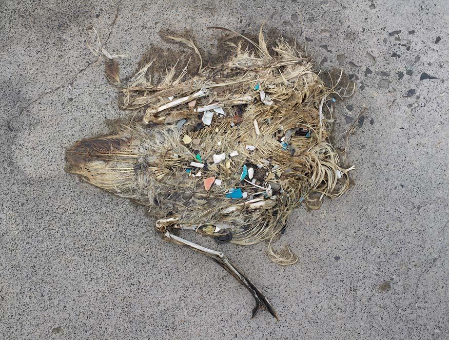 albatros-morts-20