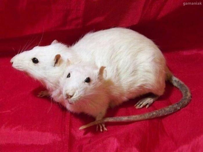 rat-a-deux-tetes