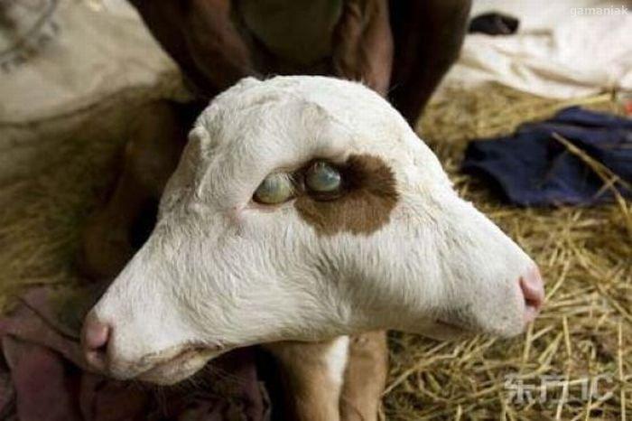 mouton-a-deux-tetes
