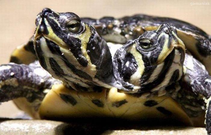 mini-tortue-a-deux-tetes