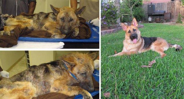 chiens-avant-apres-adoption-12