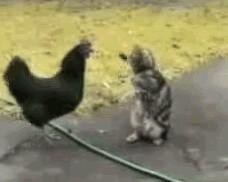 poule-vs-chat