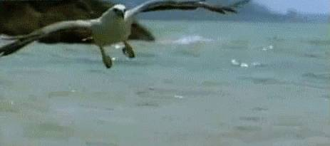 gif-aigle-attrape-anguille