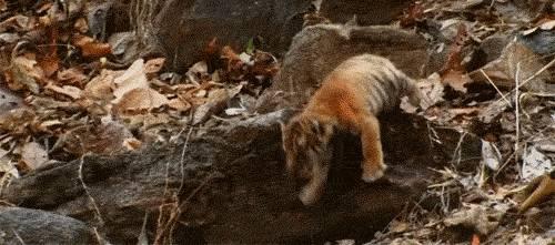 chute-tigre