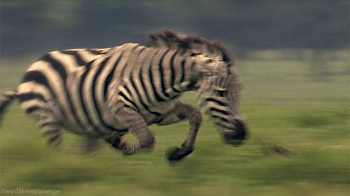 zebre-court-derriere-leopard