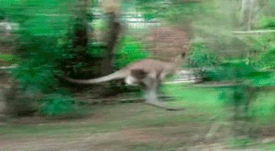 kangourou-glisse