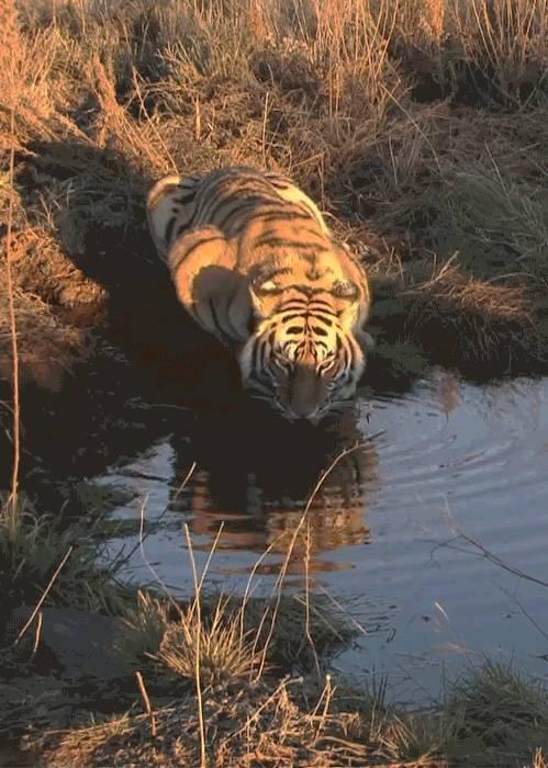 tigre-qui-boit-leau