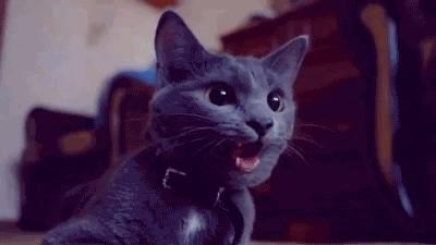 chat-qui-halete-comme-chien