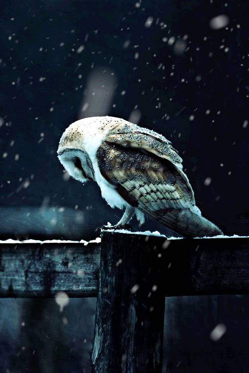 chouette-triste-neige