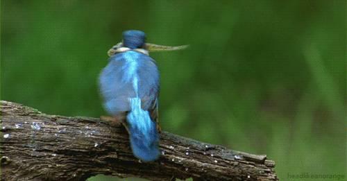 oiseau-assomme-poisson
