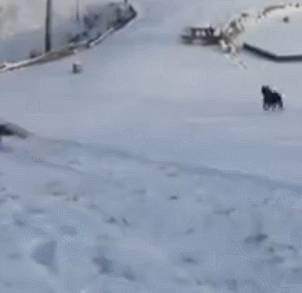 accident-entre-2-chiens-dans-neige