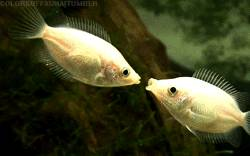 bisou-poissons