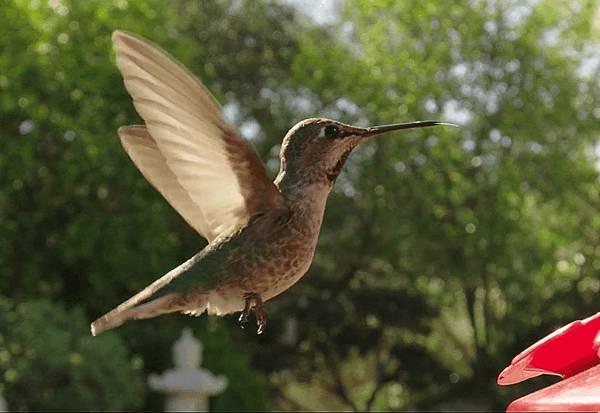 colibri-vol-stationnaire