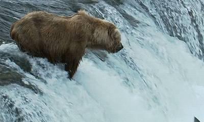 ours-attrape-poisson-qui-remonte
