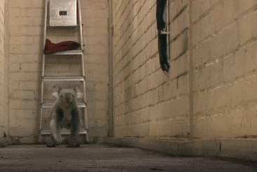 koala-qui-court