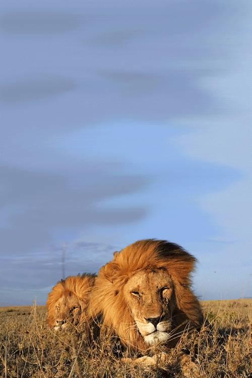 lion-criniere-vent