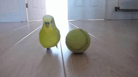 oiseau-balle-tennis