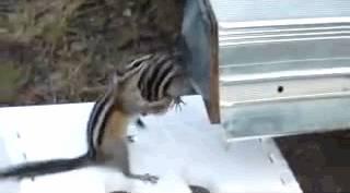 faire-rentrer-ecureuil-bourre-maison