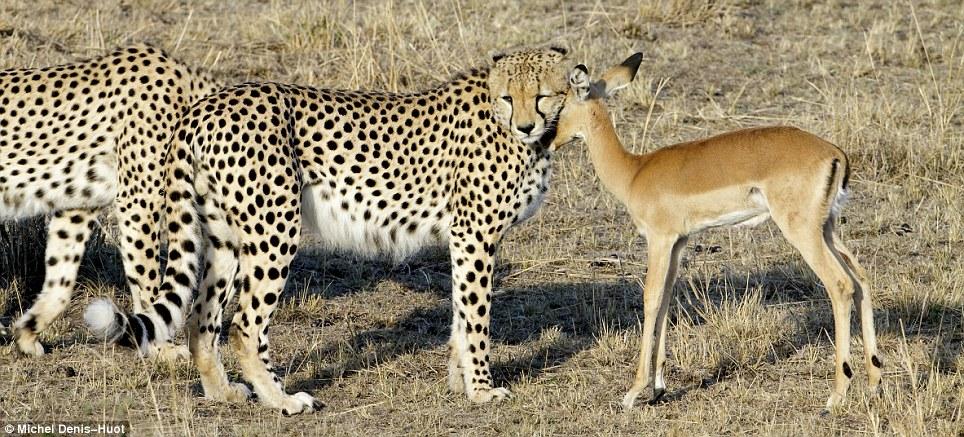guepards-jouer-antilope-01