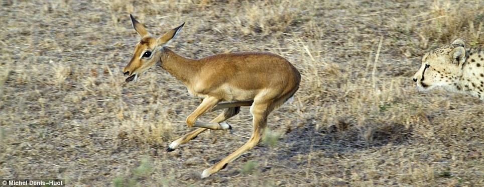 guepards-jouer-antilope-02