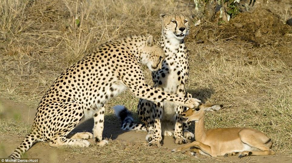 guepards-jouer-antilope-04