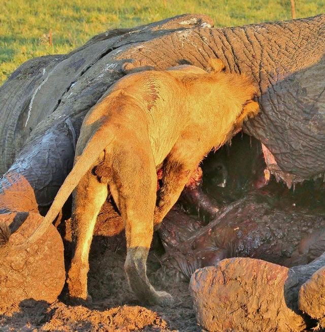 hyene-cache-elephant-02