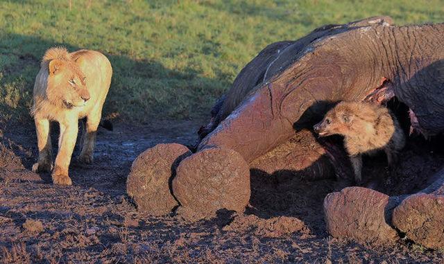 hyene-cache-elephant-04