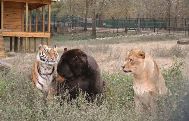 lion-tigre-ours-cohabitation-10