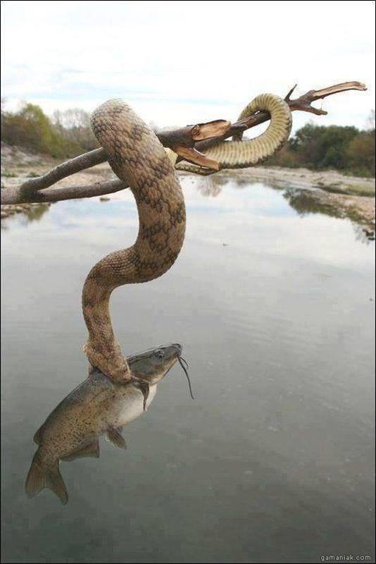 serpent-pecheur