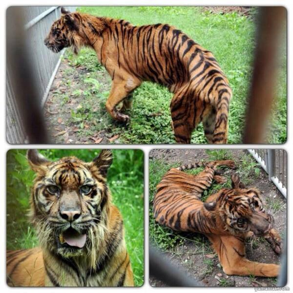 tigre-maigre-affame