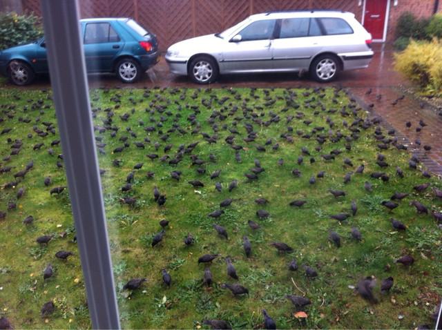 invasion-pigeons