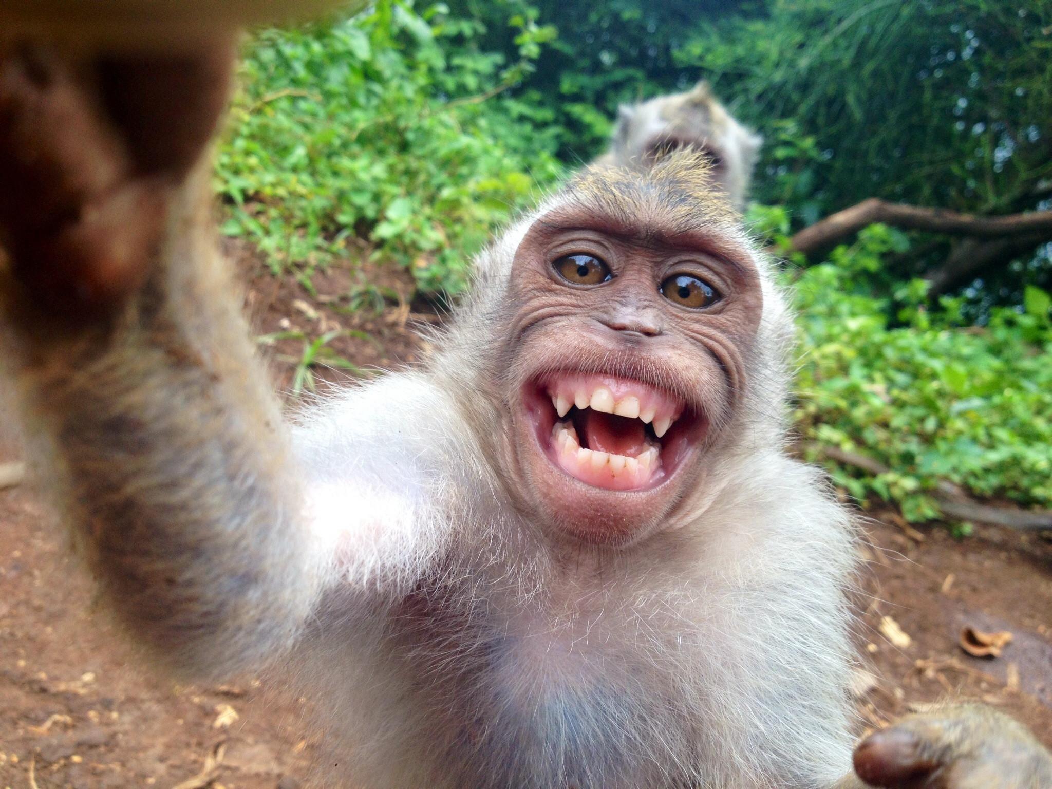 Pourquoi les singes ont les fesses rouge - jeux de langue