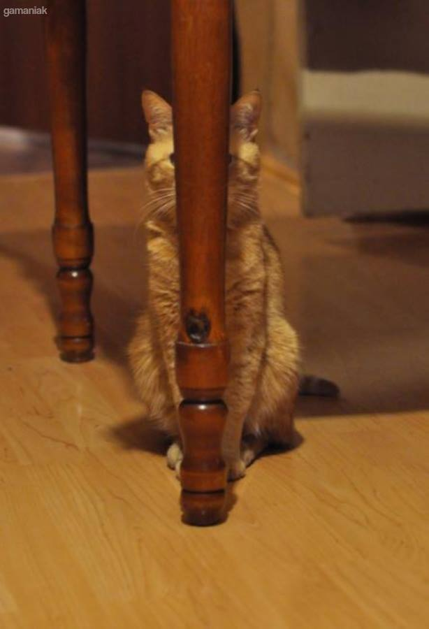 chat-camoufle-derriere-pied-table