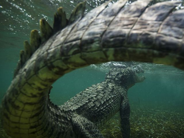 jolie-photo-crocodile-sous-eau