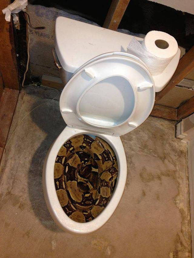 serpent-occupe-toilettes