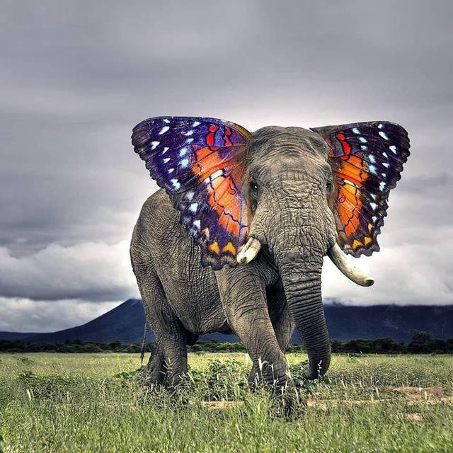 elephant-oreilles-papillon