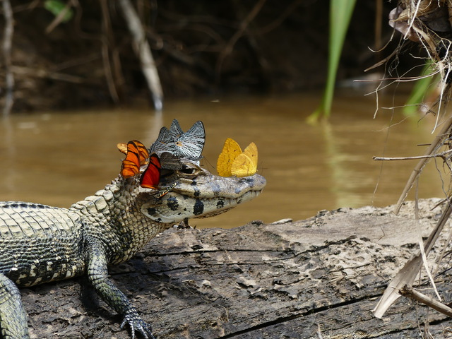 caiman-papillons-tete