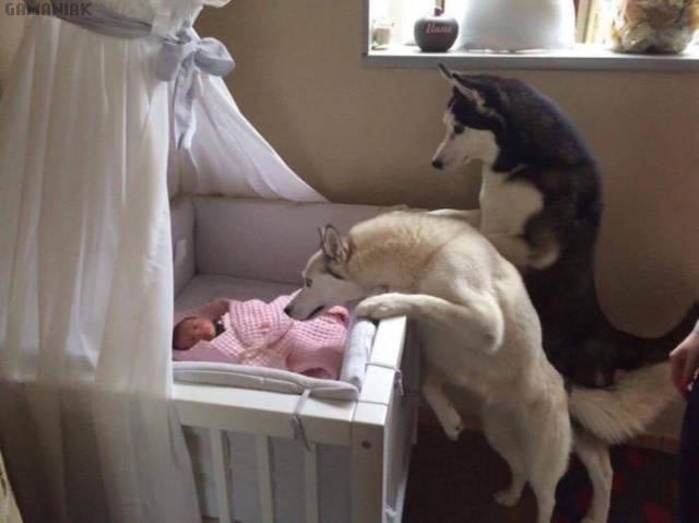 deux-husky-bebe-lit