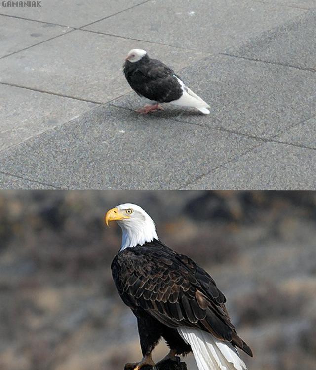 pigeon-aigle