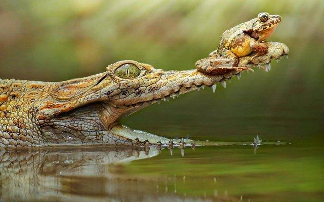 grenouille-sur-gueule-crocodile