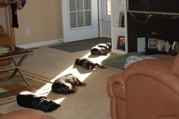 chiens-dorment-sur-rayon-soleil