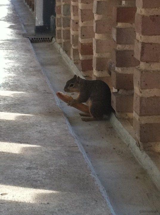 ecureuil-mange-morceau-baguette