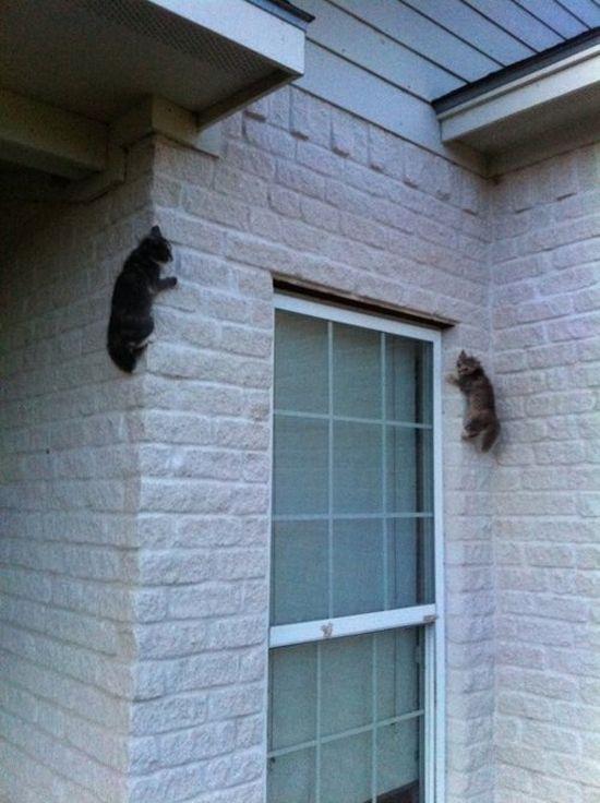 deux-chats-grimpent-mur