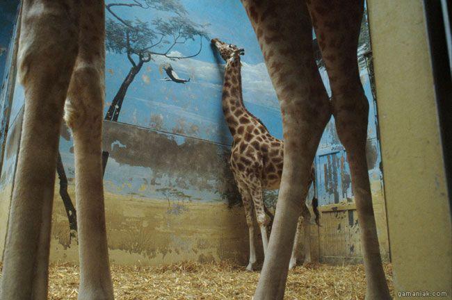 girafe-mange-mur-triste