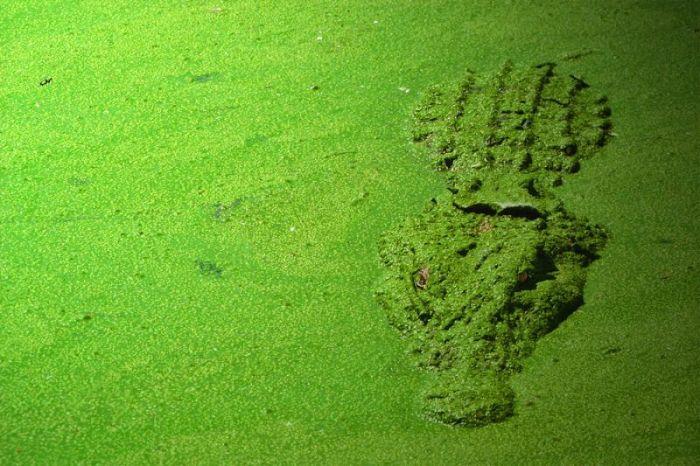 crocodile-sous-algues-vertes