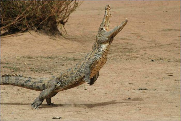 crocodile-essaie-voler